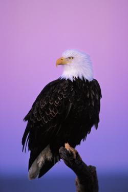 Bald Eagle Sitting on Perch a Half Hour before Sunrise