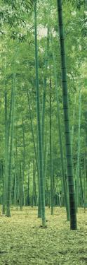 Bamboo Forest Nagaokakyo Kyoto Japan