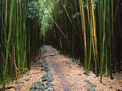 https://imgc.allpostersimages.com/img/posters/bamboo-forest-on-the-waimoku-falls-trail-south-of-hana-maui-hawaii-usa_u-L-P42OKL0.jpg?p=0