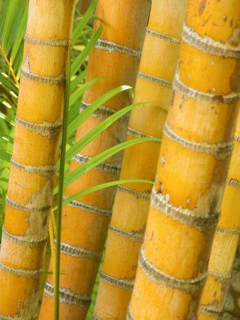 https://imgc.allpostersimages.com/img/posters/bamboo-stems-queensland-australia_u-L-P2T56U0.jpg?p=0