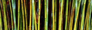 Bamboo Trees in Botanical Garden, Kanapaha Botanical Gardens, Gainesville, Alachua County, Florida