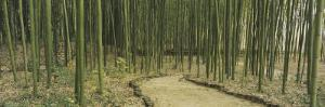 Bamboo Trees on Both Sides of a Path, Kyoto, Japan