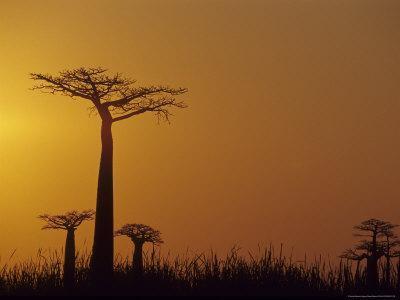 https://imgc.allpostersimages.com/img/posters/baobab-avenue-at-sunset-madagascar_u-L-P585O40.jpg?p=0