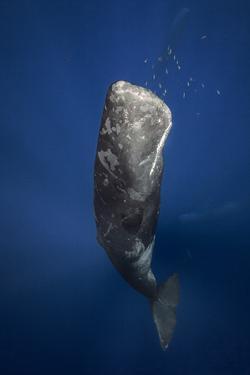 Candle Sperm Whale by Barathieu Gabriel