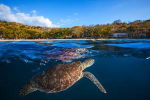 Green Turtle - Sea Turtle by Barathieu Gabriel