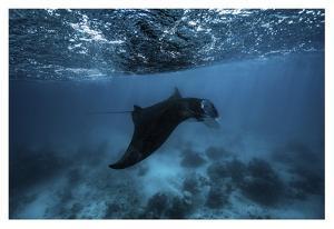 Manta Ray by Barathieu Gabriel