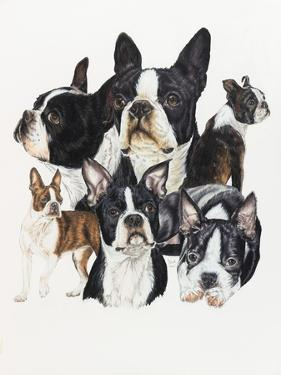 Boston Terrier by Barbara Keith