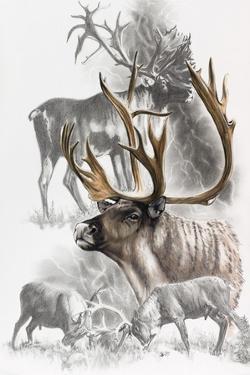 Caribou by Barbara Keith