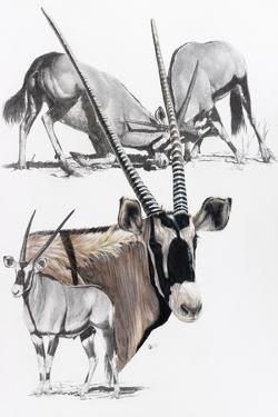 Gemsbok by Barbara Keith