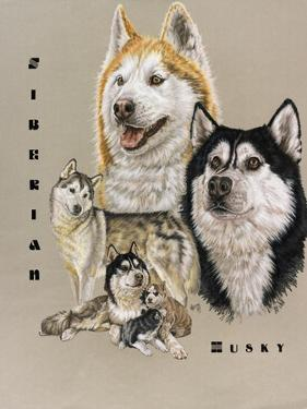 Siberian Husky by Barbara Keith