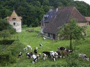 Dairy Herd of Brown and White Cows with Farm Buildings Near Blangy-Le-Chateau, Pays D'Auge by Barbara Van Zanten