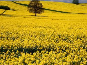 Field of Oil-Rape Seed, Spring, Harvington, United Kingdom by Barbara Van Zanten