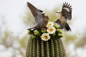 Dove and Woodpecker on Blooming Saguaro Cactus by barbaracarrollphotography