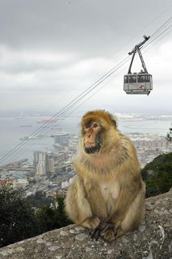 Barbary Macaque Monkey