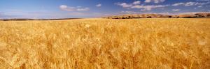 Barley crop growing on field, California, USA
