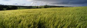 Barley Field, Wales, United Kingdom