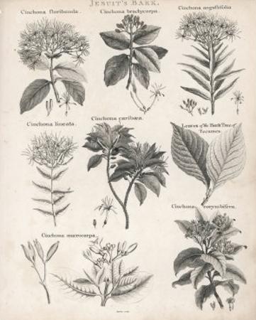 Varieties of the Cinchona Species by Barlow