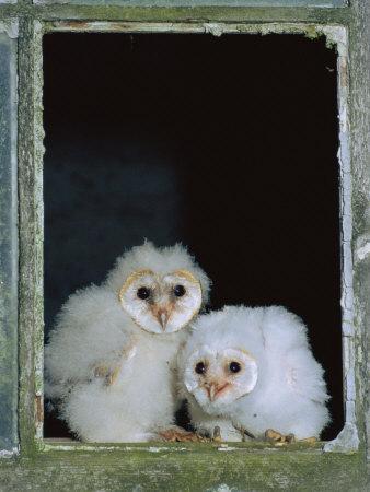 https://imgc.allpostersimages.com/img/posters/barn-owl-chicks-in-window-cornwall-uk_u-L-Q10O24B0.jpg?p=0