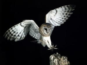 Barn Owl Flying Towards the Tattered Edge of a Tree Stump in Order to Land