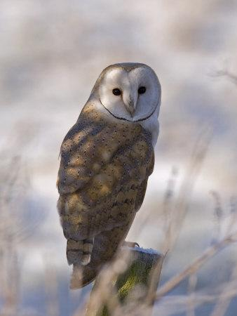 https://imgc.allpostersimages.com/img/posters/barn-owl-full-frame-portrait-of-barn-owl-perched-on-fence-post-lancashire-uk_u-L-Q10RFC00.jpg?p=0