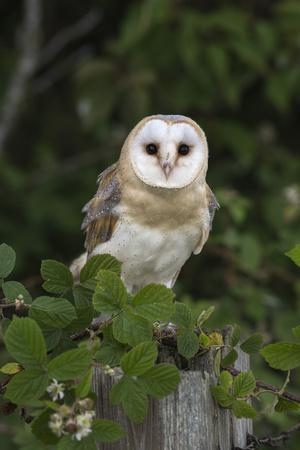 https://imgc.allpostersimages.com/img/posters/barn-owl-tyto-alba-captive-cumbria-england-united-kingdom-europe_u-L-Q12SCL10.jpg?p=0