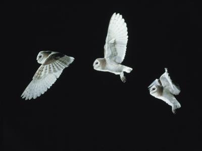 Barn Owl (Tyto Alba) in Flight. Time-Lapse. Captive, UK