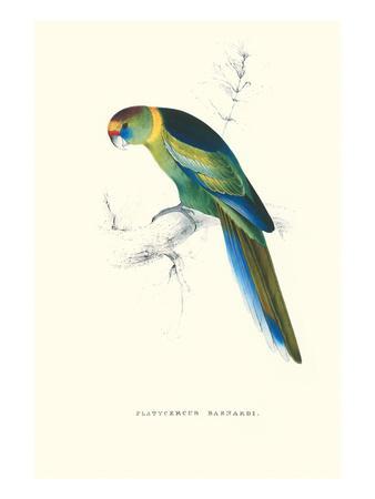 https://imgc.allpostersimages.com/img/posters/barnard-s-parakeet-barnardius-zonarius-barnardi_u-L-PGG3Q20.jpg?p=0