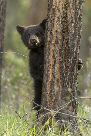 A Black Bear Cub, Ursus Americanus, Tries to Hide from its Mother by Barrett Hedges