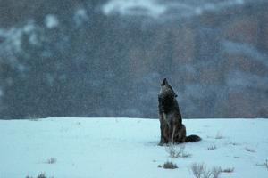 A Black Wolf, Canis Lupus, Howling in An Early Morning Snow Fall by Barrett Hedges