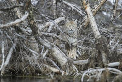 A Bobcat Has Perfect Camouflage as it Sits in a Fallen Tree by Barrett Hedges