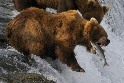 A Brown Bear About to Catch a Jumping Sockeye Salmon by Barrett Hedges