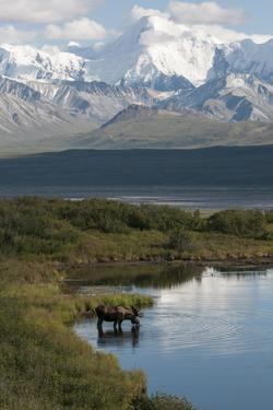 A Bull Moose, Alces Alces, Drinks from a Kettle Pond by Barrett Hedges