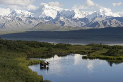 A Bull Moose, Alces Alces, Enters a Kettle Pond in the Backcountry of Denali National Park