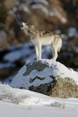 A Gray Wolf's Breath Is Visible as it Calls Out to its Pack