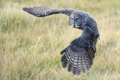 A Great Gray Owl Begins to Turn While in Flight by Barrett Hedges