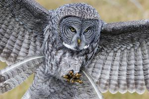 A Great Gray Owl Focuses in on its Next Meal by Barrett Hedges