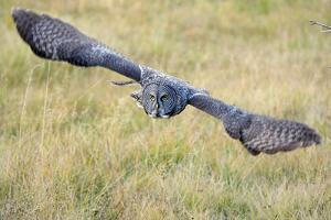 A Great Gray Owl Soars Through a Field by Barrett Hedges