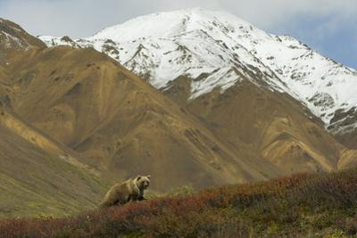 A Grizzly Bear Hunts for Berries on a Ridge with a Snowcapped Denali in the Distance by Barrett Hedges