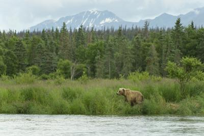 A Grizzly Bear Moves Along Grass Banks by a River by Barrett Hedges