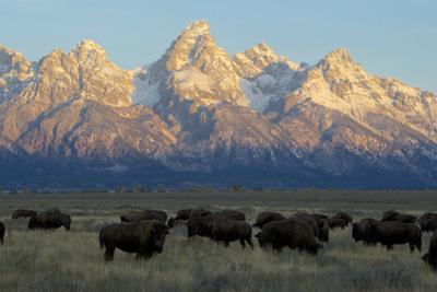 A Herd of Bison Move Through a Field as the Sun Rises on the Grand Tetons by Barrett Hedges