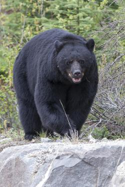A Large Black Bear, Ursus Americanus, Moves Quickly over the Rocks by Barrett Hedges