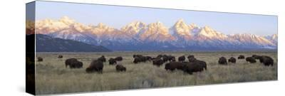 A Large Herd of Bison Moves across the Open Range of the Tetons