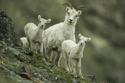 A Mother Dall's Sheep and Her Twin Lambs Stand Still on the Ridge by Barrett Hedges