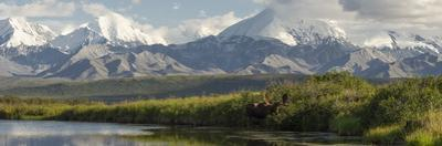 A Panoramic of a Bull Moose, Alces Alces, in a Kettle Pond by Barrett Hedges