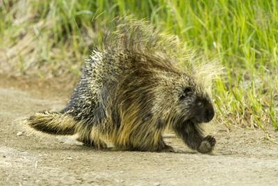 A Porcupine Walks on a Dirt Path by Barrett Hedges