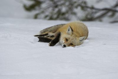 A Red Fox Slides on the Snow to Clean its Fur Off by Barrett Hedges