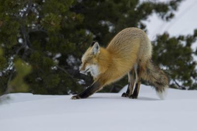 A Red Fox Stretches after a Winter Nap by Barrett Hedges