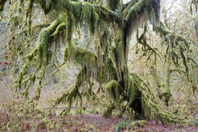A Tree Is Enshrouded in Moss by Barrett Hedges