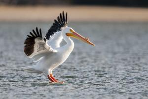 A White Pelican with Outstretched Wings Lands on Water by Barrett Hedges