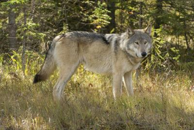 An Alert Gray Wolf, Canis Lupus, Stands in the Forest of Jasper National Park by Barrett Hedges